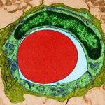 Еритроцит в капілярі